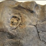 Close up of replica skull
